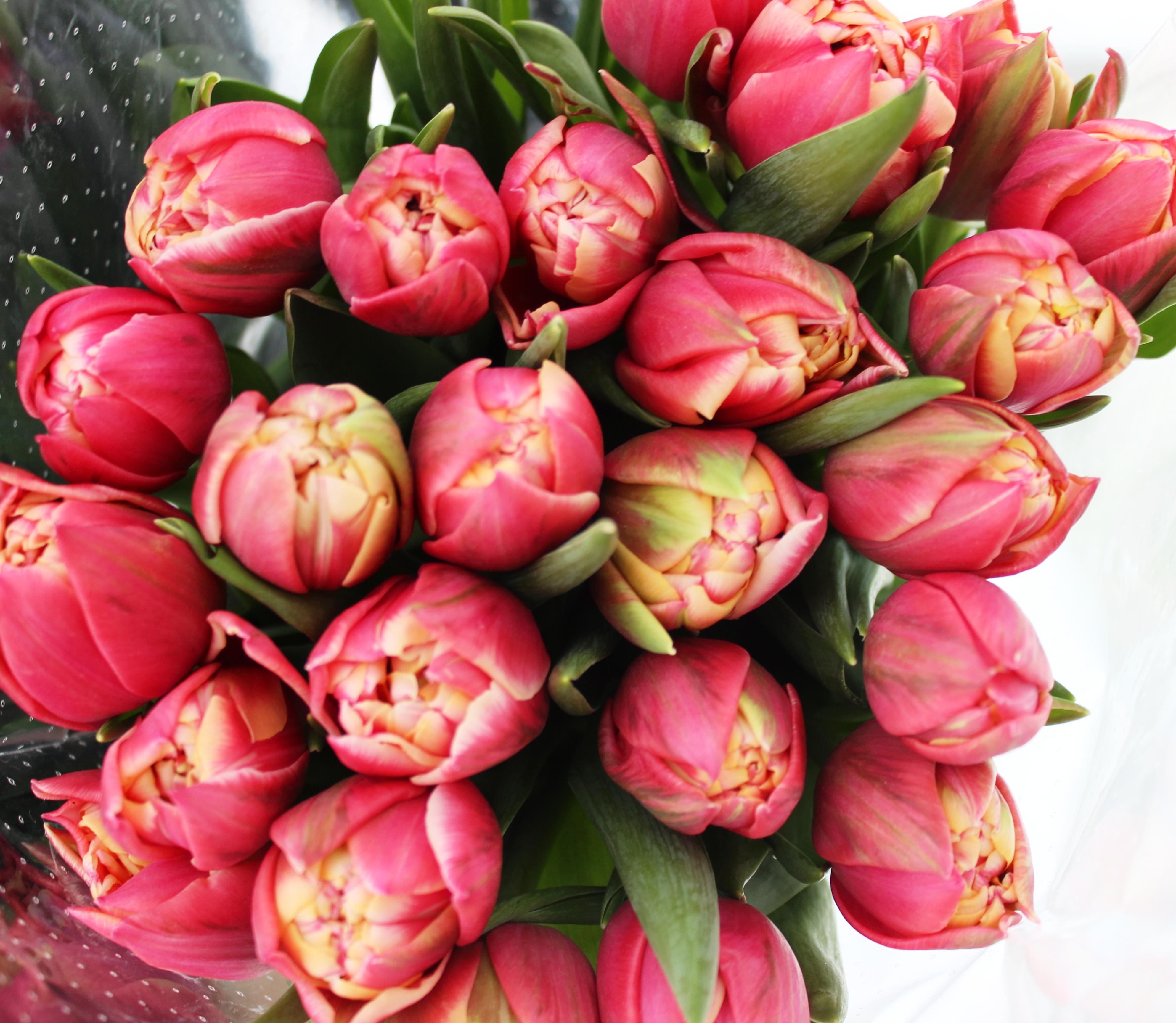 пионовидные тюльпаны сорта и фото хороший принтер