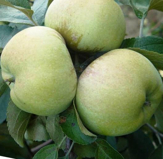 Яблоко сорт Богатырь