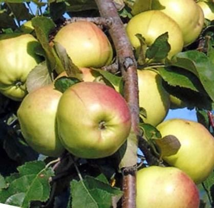 Яблоня сорта Братчуд