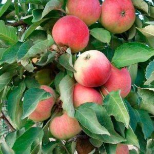 Яблоня сорта Кумир