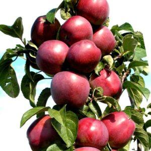Яблоня сорта Стрела
