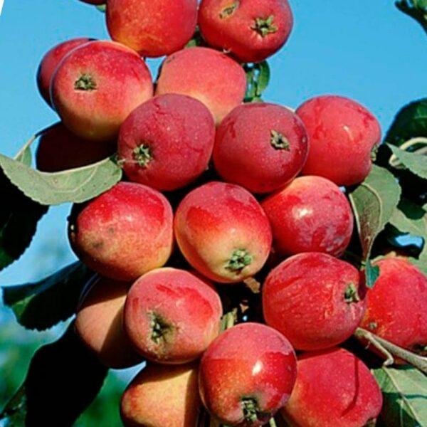 Яблоня сорта Валюта
