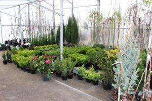 Хвойные и декоративные деревья и кустарники