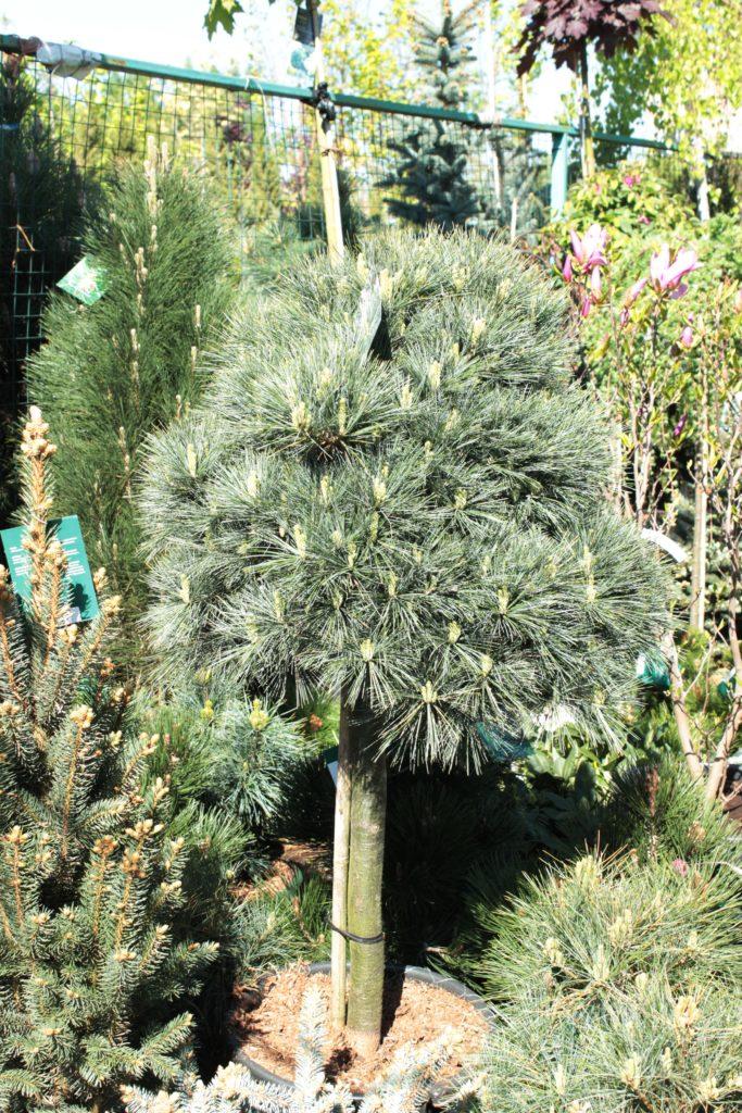 Хвойные растения на штамбе