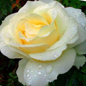 Роза Чопин