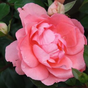 Роза Жарден де Франс