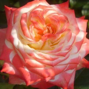 Роза Императрица Фарах чайно-гибридная