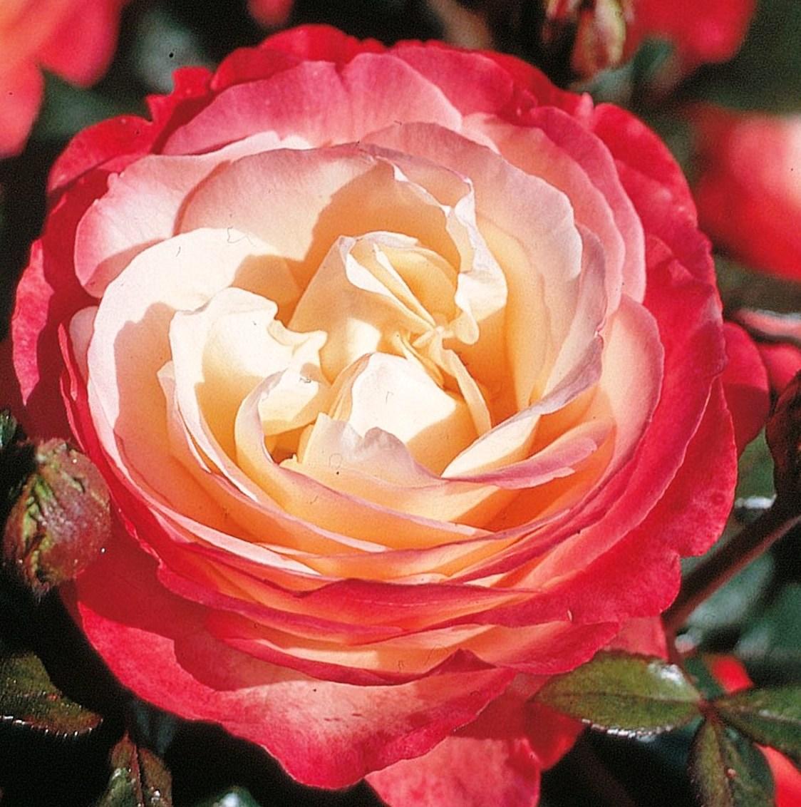 роза сорт магнит фото потребуется подготовить место