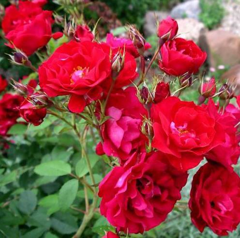 Роза Аделаида Худлесс канадская