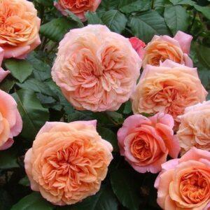 Роза Чиппендейл шраб